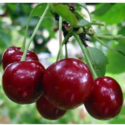 Черешня Веда 2-х лет (поздний, плод темно-красный)  00000160239